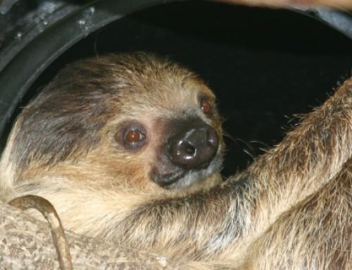 Cozy Like a Sloth