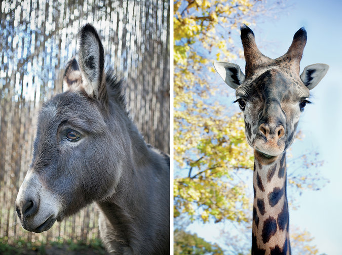 PATIENT (LEFT): Willie, donkey. AFFLICTION: Depression over change in habitat. PATIENT (RIGHT): Sukari, Masai giraffe. AFFLICTION: Anxiety around people with large cameras. (Photo: Robin Schwartz for The New York Times)