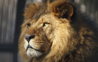 Virga says that animals in zoos, like this lion, need to have a bit of control over their environment. (Photo & caption via NPR)